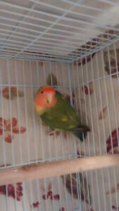 Pretty healthy colorful love birds for sale in cheap price.