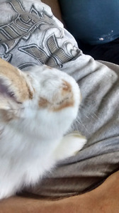 Looking for a female rabbit or male