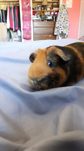 Looking for any unwanted female guinea pig