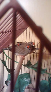 Young male Zebra Finches