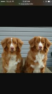 Wanted Nova Scotia duck toller