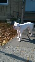 Johnston American bulldog