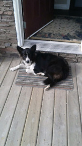 Lost boarder Colie  jarvi road (mickey)