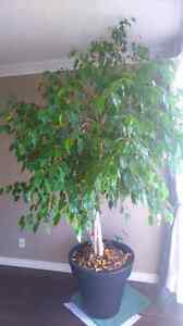 Tall weeping fig tree