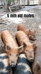 5 mth old intact male pigs