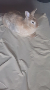 Male, neutered, litter trained bunny for sale.