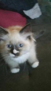 Purebred Balinese Kittens