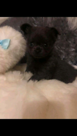 **1 boy left** Chihuahua puppies for sale