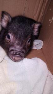 Cochon vietnamien bébé mâle