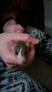 CUTEST baby rats!