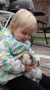 Holland Lop Bunnies for Sale!