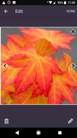 Acer tree maple japonica Shrub autumn