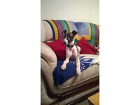 Whippet, Jack Russel for sale