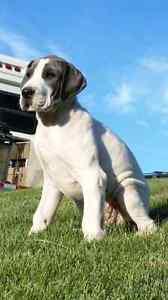 Blue Great Dane Pups