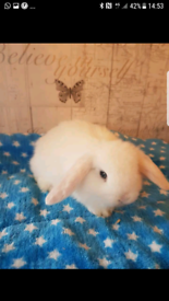 Mini lop boys available now