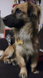 Adoptable Jasper 2 yr Corgi Pekingese (we think)