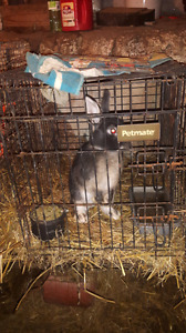 Male and female  drawf  rabbits for sale