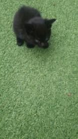 Pure black female kitten and tabby female