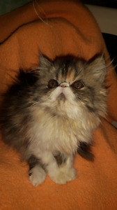 Registered persian female