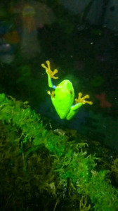 Red eye tree frogs for sale and vivarium