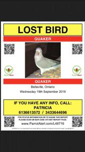 Lost Quaker Parrot