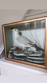 Lovely antique taxidermy gull