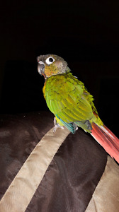 Conure male yellow side avec cage