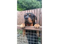 Rottweiler 2 year old pedigree