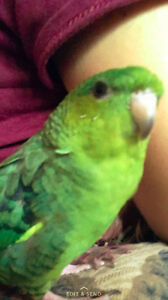 Lost bird - green lineolated parakeet - Mississauga - March 2017