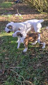 Xl American bulldog pup
