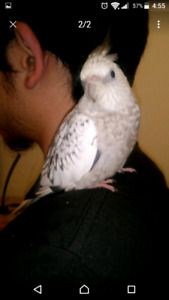 Lost female cinimon pearl and male whiteface cockatiel