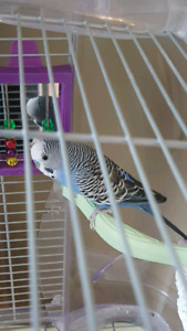 Budgie an cage