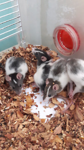 Young Rats for sale