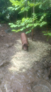 Bbq heritage pigs for sale
