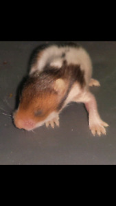 Free male baby hamster (ready on 20th)