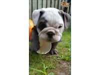 British bulldog puppys for sale
