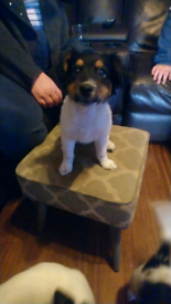Jack russell pup last one