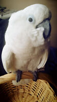 15 Year Old Umbrella Cockatoo