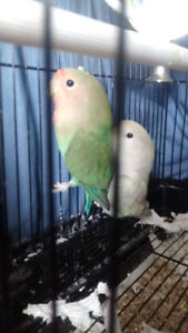 2 love birds for sale