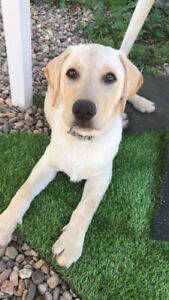 Wanted:  Young Adult Labrador retriever
