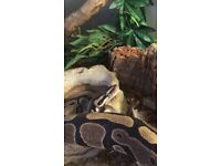 Beautiful adult female royal python for sale
