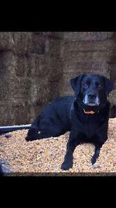Lost dog in Renfrew