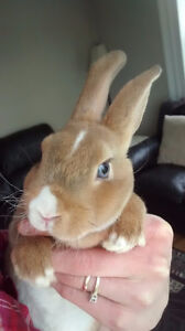 Blue-Eyed Mini Rex Bunny!! And large wood outdoor cage!