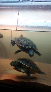 Male RES turtle free to a good home