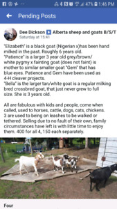 3 Female Goats & Milking Stanchion