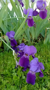 Irises for sale