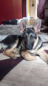 Beautiful purebred male Shepherd pup
