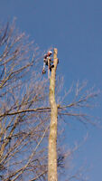 Bear tree removal service