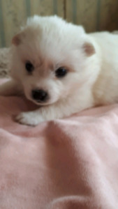 Eskimo Puppies - Only 2 left!