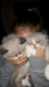 2 male 100% Himalayan babies ready oct 5th